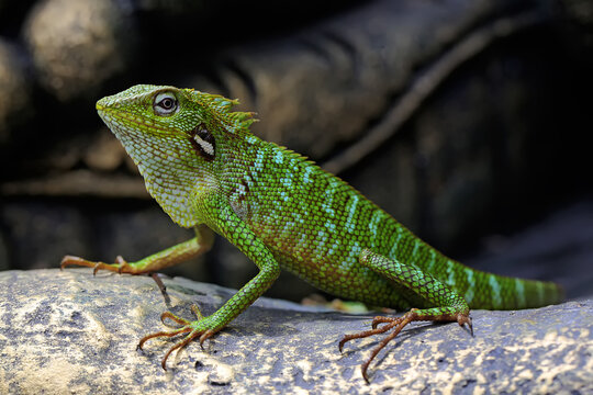 A green crested lizard (Bronchocela jubata) is sunbathing before starting his daily activities.