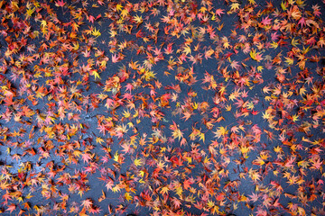 Fall color, small maple leaves in red, yellow, and orange, fallen on an asphalt driveway, as a nature background