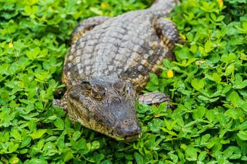 crocodile in the grass everglades