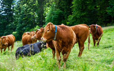 Group of cows standing on a green pasture, next to each other with at the background a green forest. Brown cows in a grassy field on a bright and sunny day in Alps Germany. Wall mural