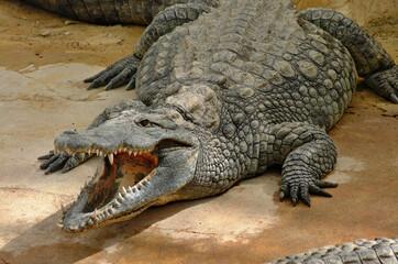 Dangerous crocodile near the water