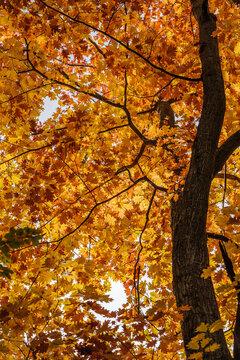 Roteichenwäldchen im Herbst (Quercus rubra) Amerikanische Rot-Eiche, Standort: BaWü, Deutschland | red oak forest in autumn in Germany