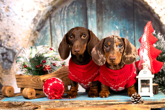 Christmas wreath on neck dachshund puppy, group dogs wearing a santa hat, Christmas dogs