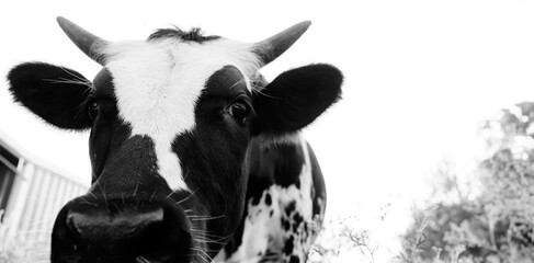 Curious longhorn calf with horns smelling close up.