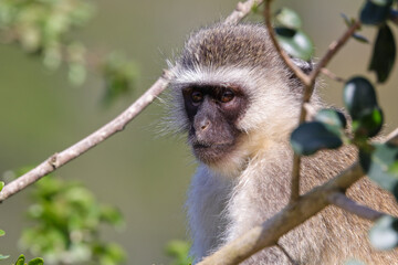 Printed kitchen splashbacks Monkey Vervet Monkey In Tree Looking (Chlorocebus pygerythrus), Mossel Bay, South Africa