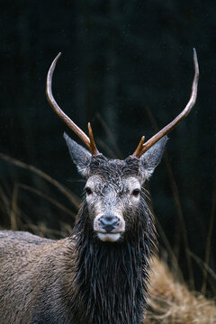 Deer at the Glen Etive, Scotland