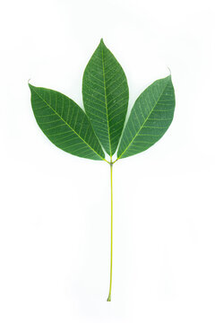 Three green leaves attached to stems, leaves it to fall from the tree. Isolated white background.