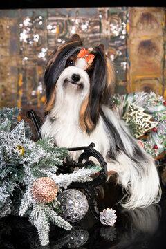 christmas dog Biewer Yorkshire Terrier in retro winter background