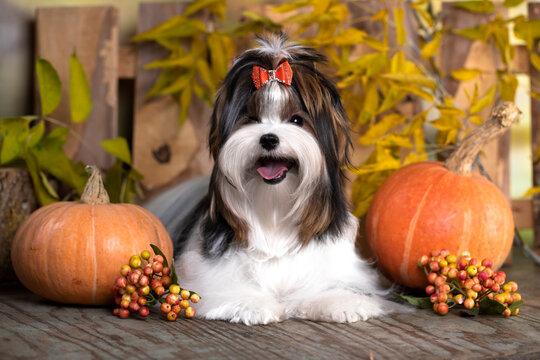 puppy dog Biewer Yorkshire Terrier and autumn yellow pumpkins
