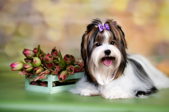 puppy dog Biewer Yorkshire Terrier and spring pink tulips