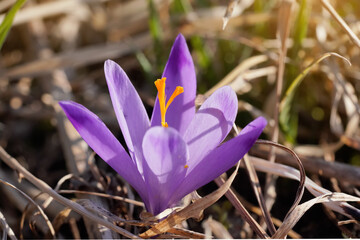 Sun shines on wild purple and yellow crocus flower growing in spring dry grass