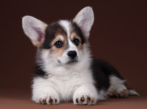 Cute welsh corgi pembroke puppy on brown background