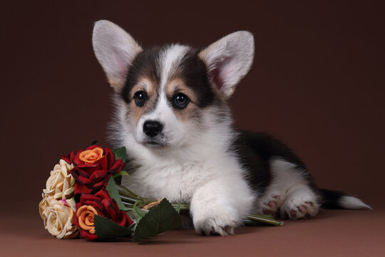 Cute welsh corgi pembroke puppy with flowers on brown background