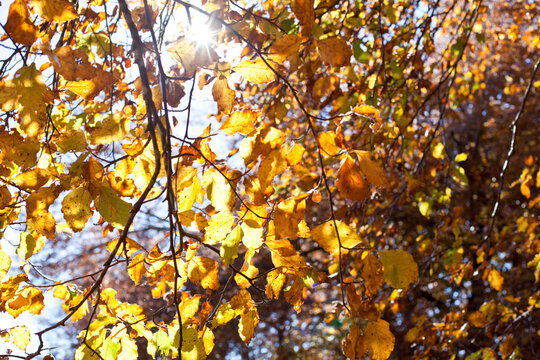 Yellow beautiful golden leaves in fall with sunlight.