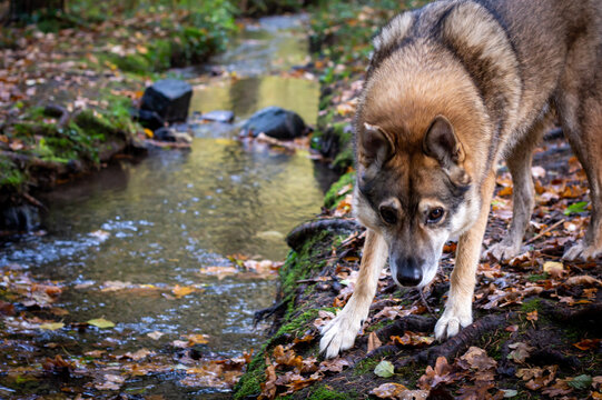 Czechoslovakian wolfhound stands by the stream in the autumn forest