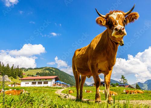 Wall mural cow at the european alps