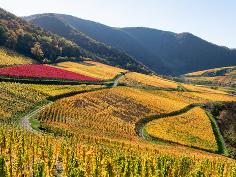 Fall colored vineyards with a heart shaped wine field on slopes in the wine-growing area in the Ahr valley near Mayschoss in autumn, Eifel, Rhineland-Palatinate, Germany