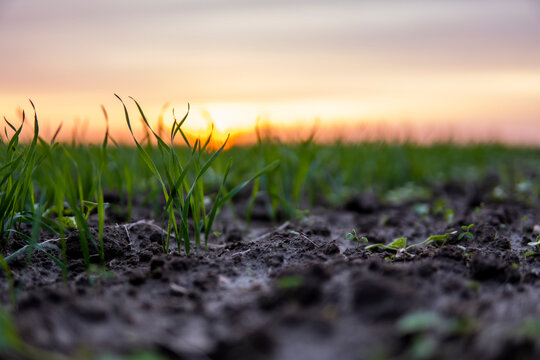 Close up young green wheat seedlings growing in a soil on a field in a sunset. Close up on sprouting rye agriculture on a field in sunset. Sprouts of rye. Wheat grows in chernozem planted in autumn.