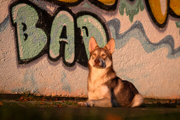 Wall Murals Dog Saarlooswolfhond, Wolfhond, braun, waldbraun, Saaloos Wolfhond, wildfarben