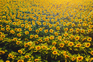 Wall Mural - Aerial view of bright yellow sunflowers on a sunny day.