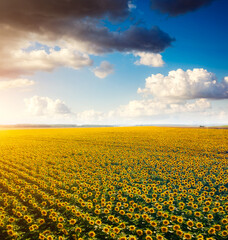 Wall Mural - Aerial view of bright yellow sunflowers with clouds on a sunny day.