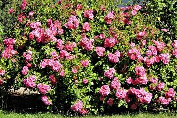 Fototapeta Róże ogrodowe  obraz