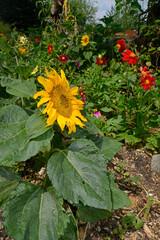 Wall Murals Sunflower Sonnenblume in einem Blumenbeet // Sunflower in a flowerbed