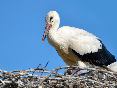 Closeup of white stork (Ciconia ciconia) standing in its nest on blue sky background