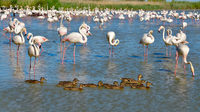 Group of flamingos (Phoenicopterus ruber) and ducks in water, in the Camargue is a natural region located south of Arles, France, between the Mediterranean Sea and the two arms of the Rhône delta
