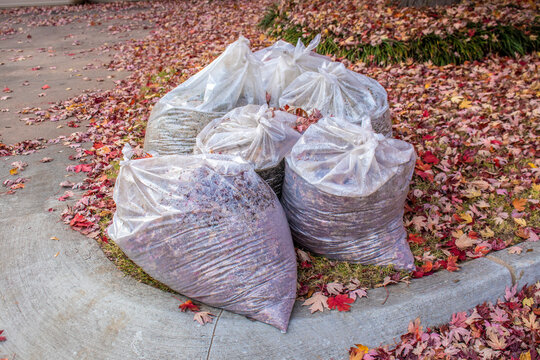 Clear bags of fall leaves with moisture inside  by curb with yard covered in colored leaves
