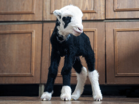 Unique lamb - a hybrid of sheep and goat bred in Russia