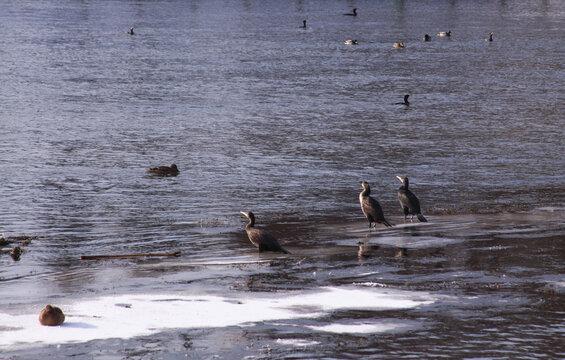 Black cormorants in winter on ice in the morning