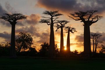 Baobab trees - Morondava, Madagascar