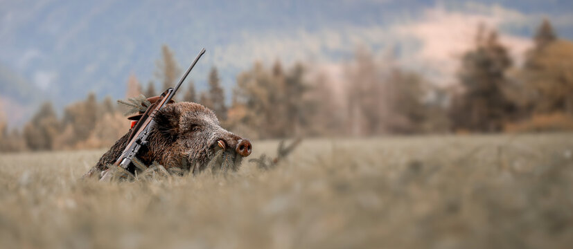 Caught a large wild boar as a hunting trophy, (Sus scrofa), beautiful white teeth.