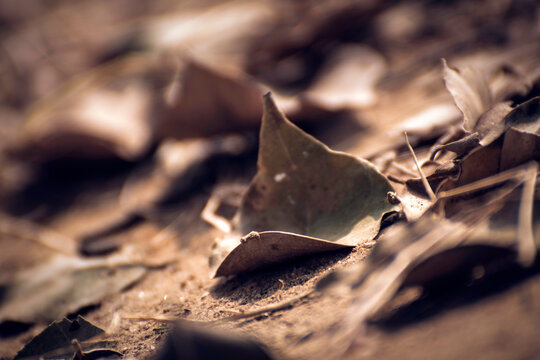 Dry leaves on the ground, there are dry leaves falling from the tree