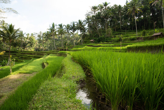 Terraced rice fields and jungle trees ready for harvest on a irrigation slope near Gunung Kawi ancient Hindu temple, in Ubud, Bali, Indonesia