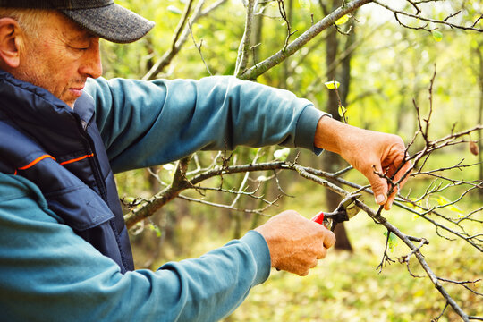 Agriculture man pruning tree branch with secateurs