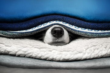 cute pets photo bright blue background border collie dog basking in bed