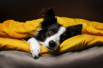 cute pets photo bright yellow background border collie dog basking in bed