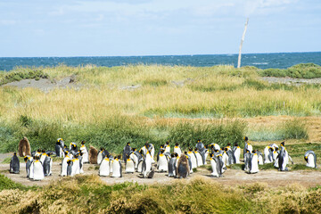 Colony of king penguins at Tierra el Fuego in Chile