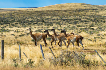 Four curious guanaco lamas in pampa in Argentina