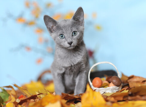 Blue kitten picks mushrooms in toy basket on autumn leaves