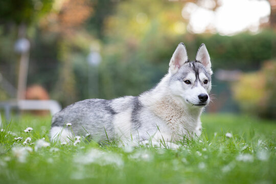 Gorgeous husky laying in the grass