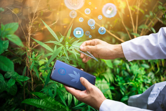 Medical healthcare scientist examining cannabis plant leaf using mobile phone modern futuristic technology icon researching mediational usage herbal benefits biological mental therapeutic treatment