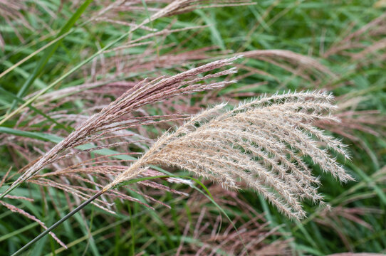 the inflorescence of a chinese silver grass