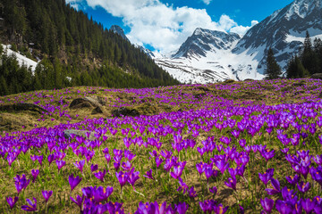 Alpine slopes with purple crocus flowers and snowy mountains, Romania