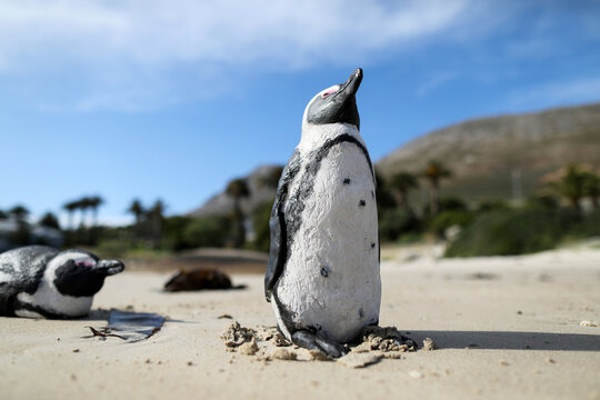 Decoy concrete African penguins, used to encourage the development of breeding colonies, are shown at Seaforth Beach