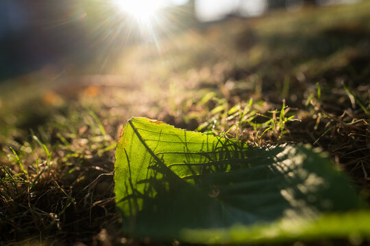 autumn leave detail in grass in evening light, green colors and sun in picture