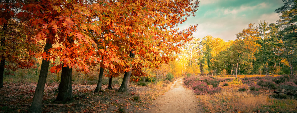 Autumn forest landscape with northern red oak trees (Quercus Rubra). Panoramic view.
