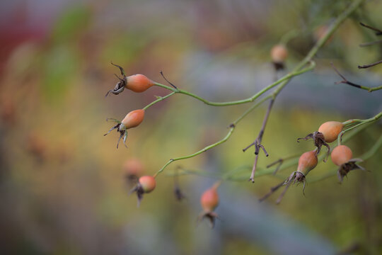 Orange rose hips in autumn garden